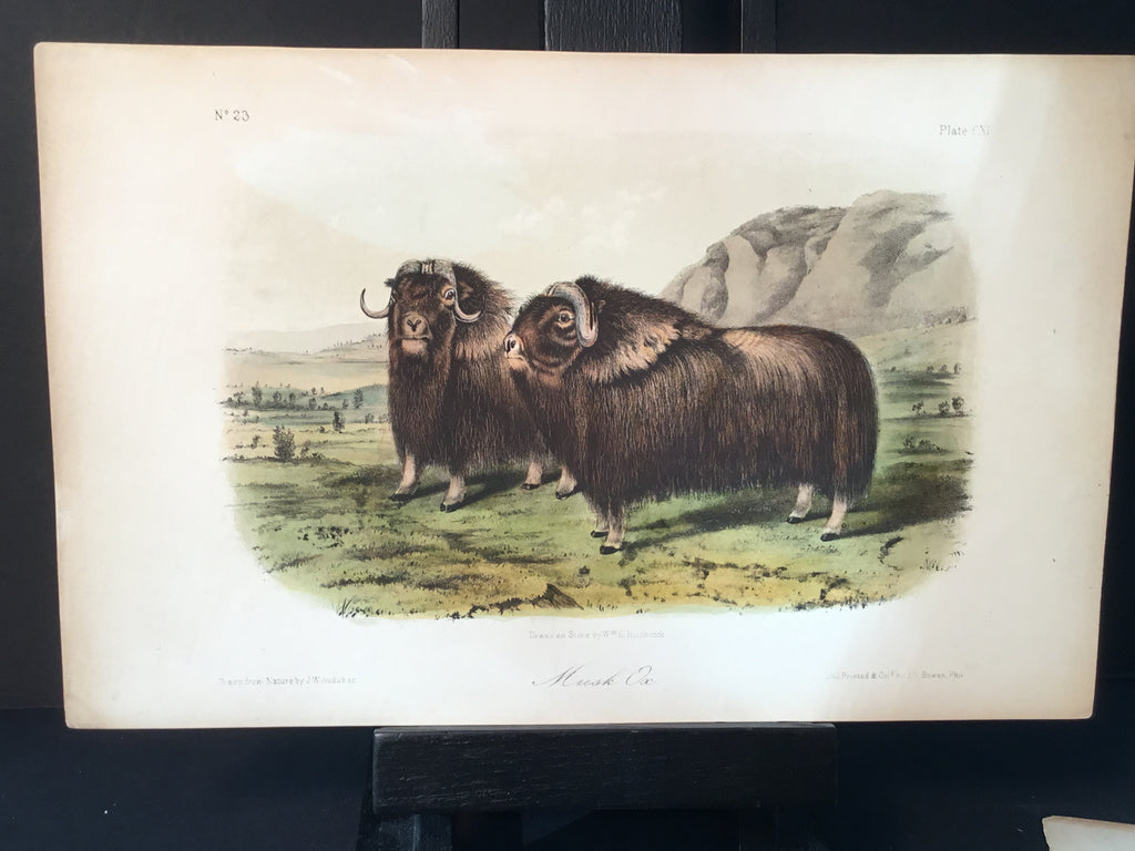 Lord-Hopkins Collection - Musk Ox