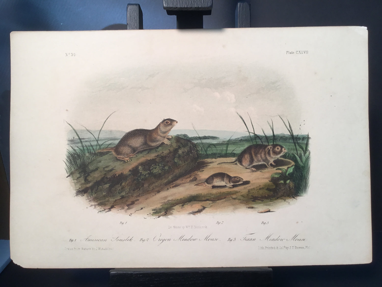 Lord-Hopkins Collection - Texan Meadow Mouse