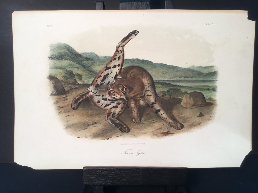 Lord-Hopkins Collection - Texan Lynx