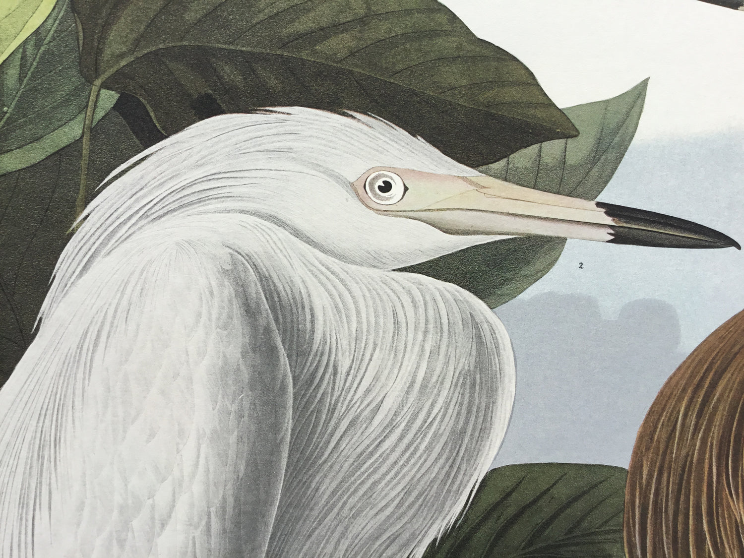 Purple Heron, plate 256, Princeton Audubon Double Elephant Edition. 26 1/4 x 39 1/4. This print initiated the New York Times online store some years back and is now close to sold out status.