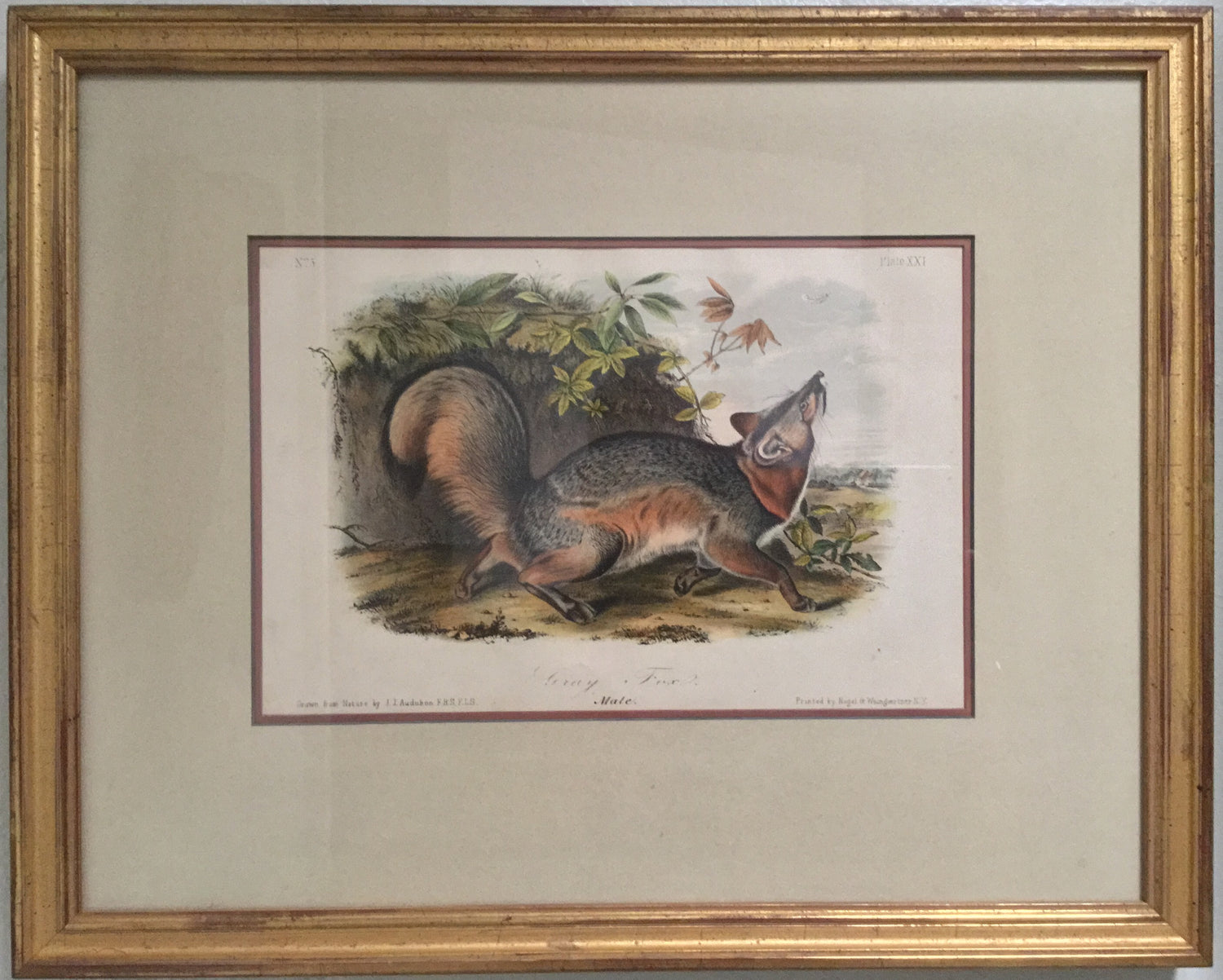 Original Audubon Octavo Grey Fox, Plate 21 (Framed)