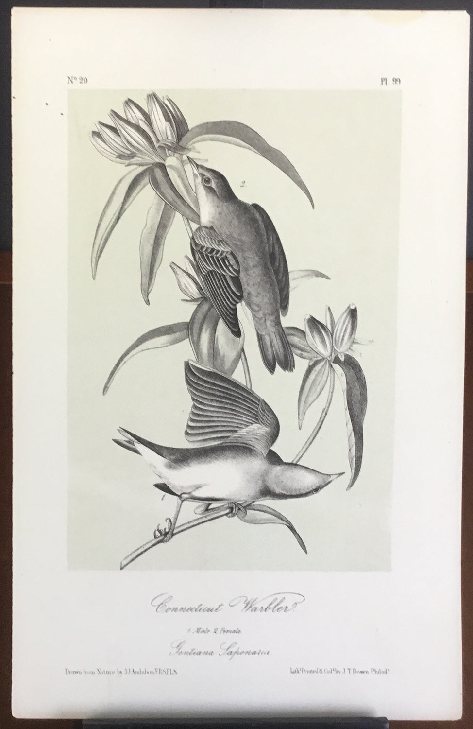 Audubon Octavo Connecticut Warbler, plate 99, uncolored test sheet, 7 x 11
