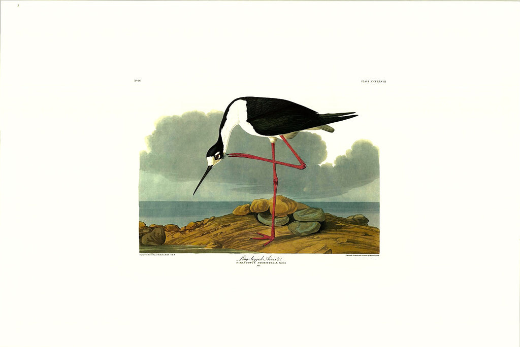Audubon print, Birds of America, Long-legged Avocet
