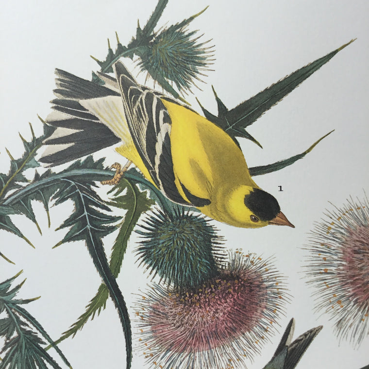 American Goldfinch Audubon Print. Princeton Audubon. The world's only direct camera edition of this image.