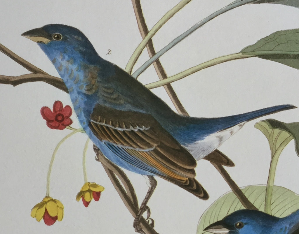 The Indigo Bird,  plate 72.