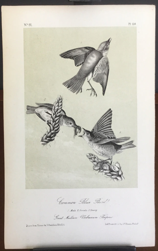Audubon Octavo Common Bluebird, plate 134, uncolored test sheet, 7 x 11