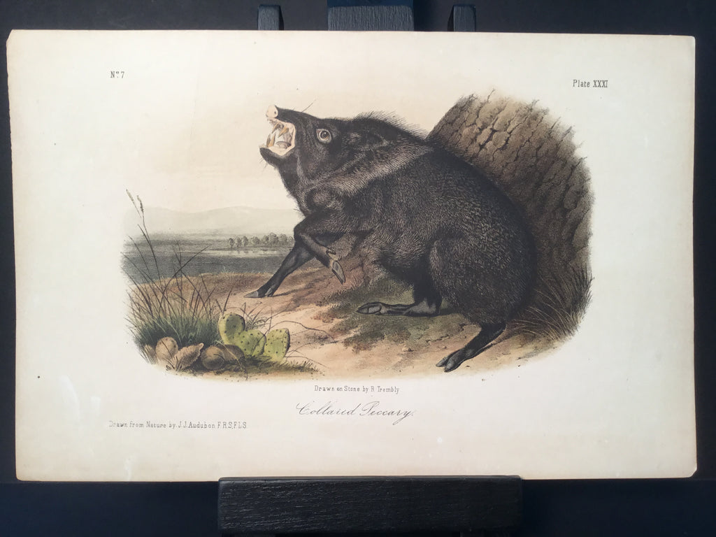 Lord-Hopkins Collection - Collard Peccary