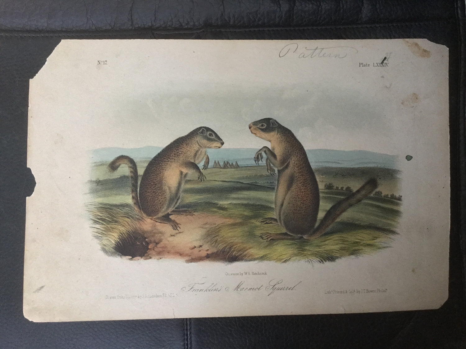 Lord-Hopkins Collection - Franklin's Marmot Squirrel - Pattern print