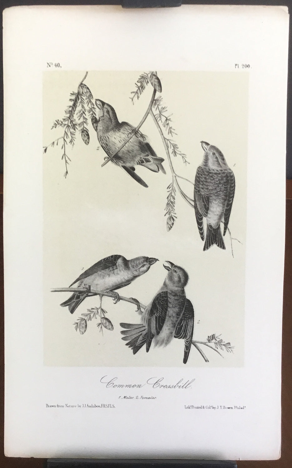Audubon Octavo Common Crossbill, plate 200, uncolored test sheet, 7 x 11