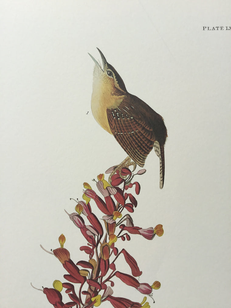 Princeton Audubon Great Carolina Wren