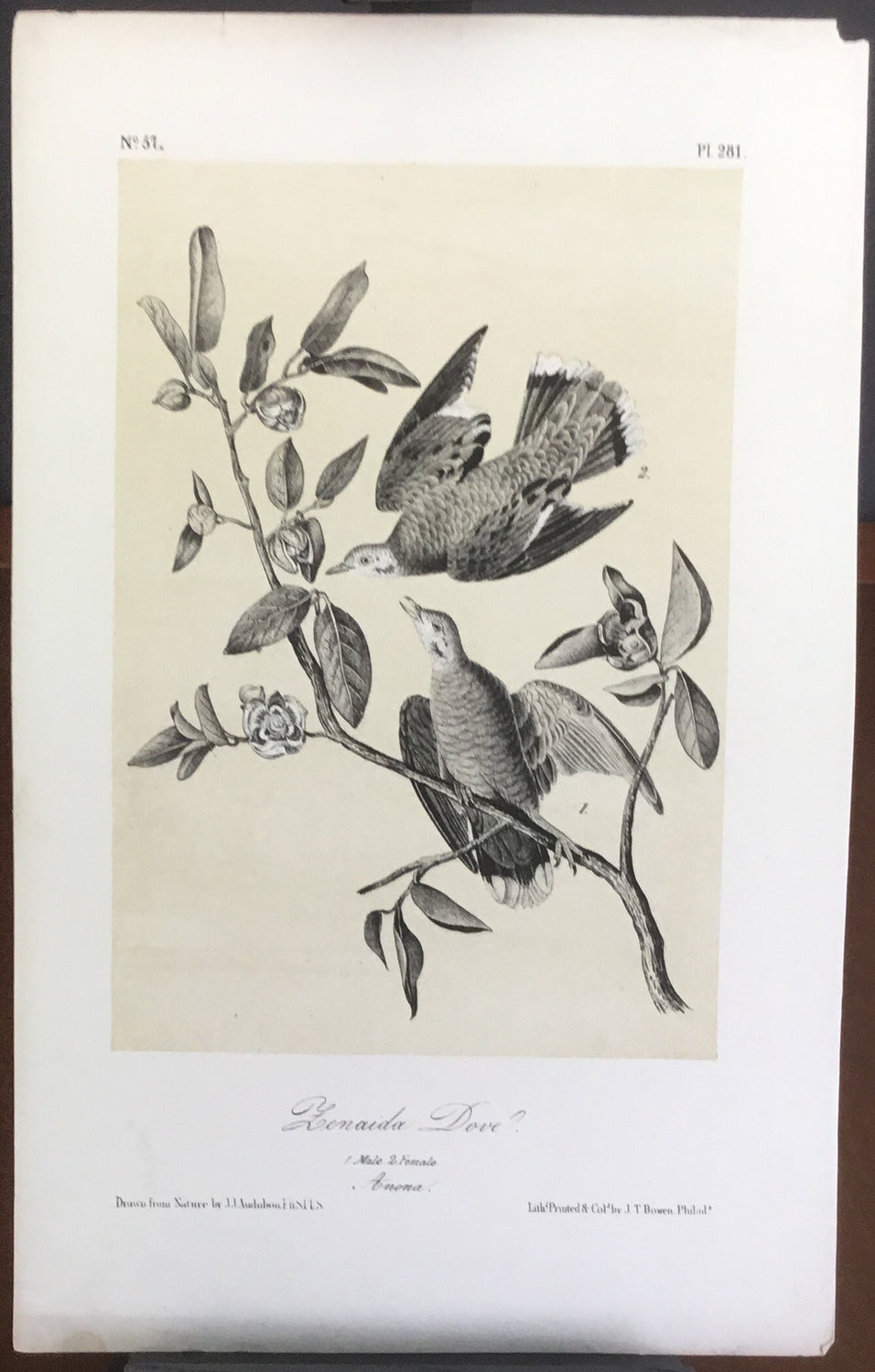 Audubon Octavo Zenaida Dove, plate 281, uncolored test sheet, 7 x 11