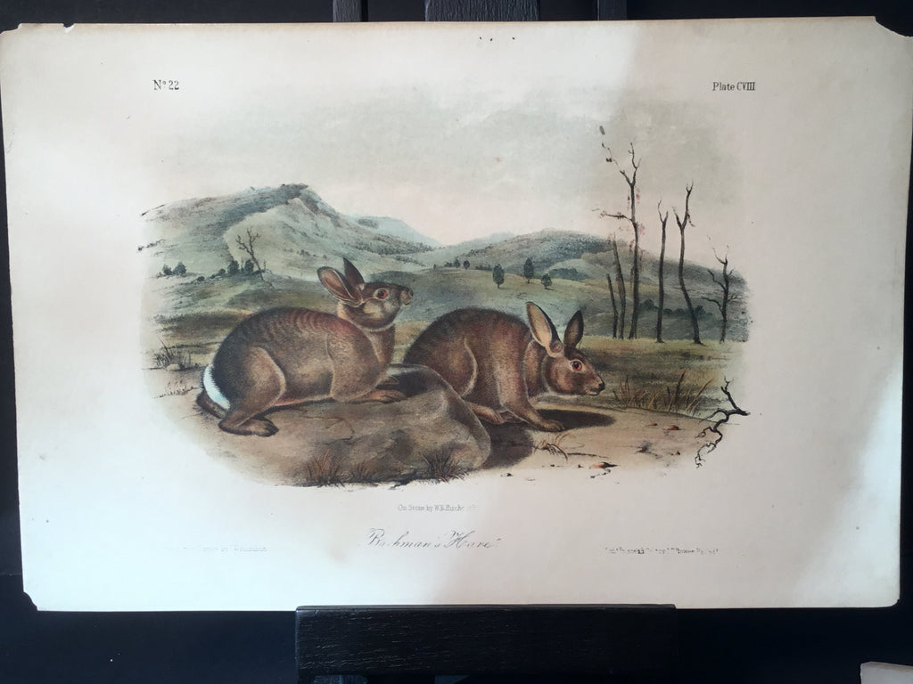 Lord-Hopkins Collection - Bachman's Hare