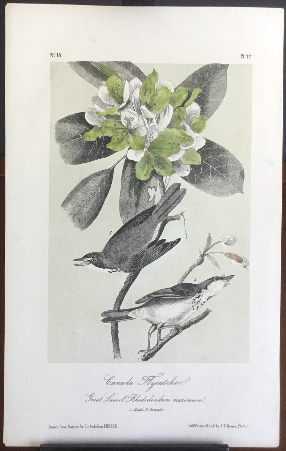 Audubon Octavo Canada Flycatcher, plate 72, uncolored test sheet. 7 x 11