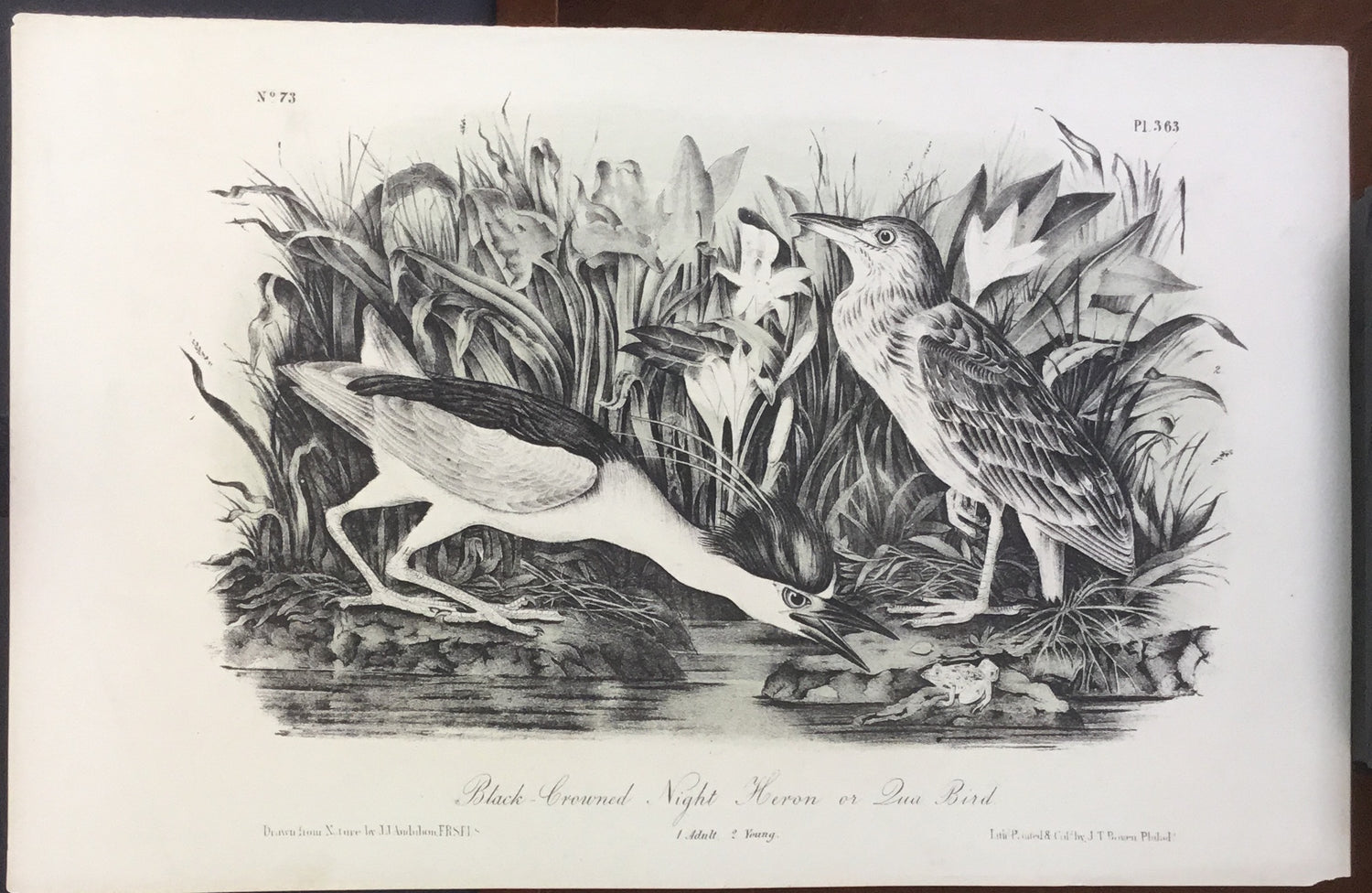 Audubon Octavo Black-crowned Night Heron or Qua Bird, plate 363, uncolored test sheet, 7 x 11