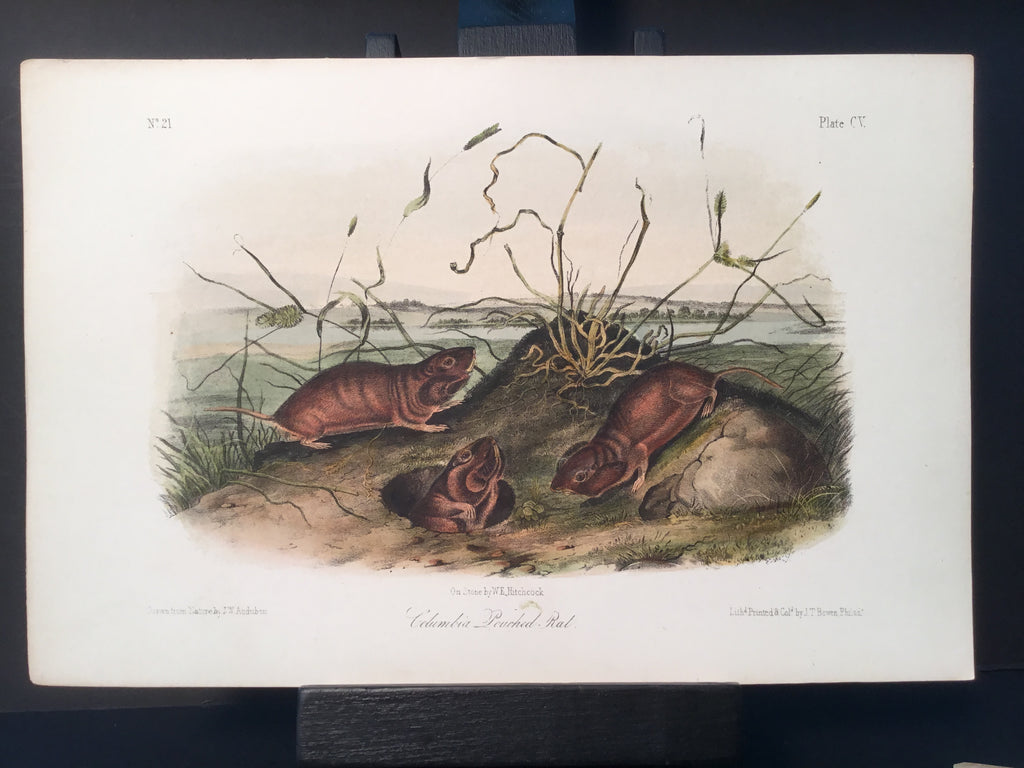 Lord-Hopkins Collection - Columbia Pouched Rat