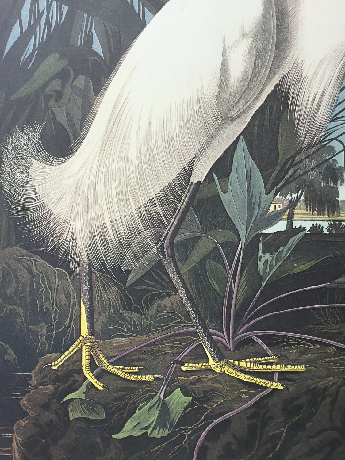 Snowy Egret Audubon Print, plate 242, Princeton Audubon Double Elephant Edition. 26 1/4 x 39 1/4 inches. Charleston S.C. plantation in background. Cameo of Audubon approaching from bottom right.