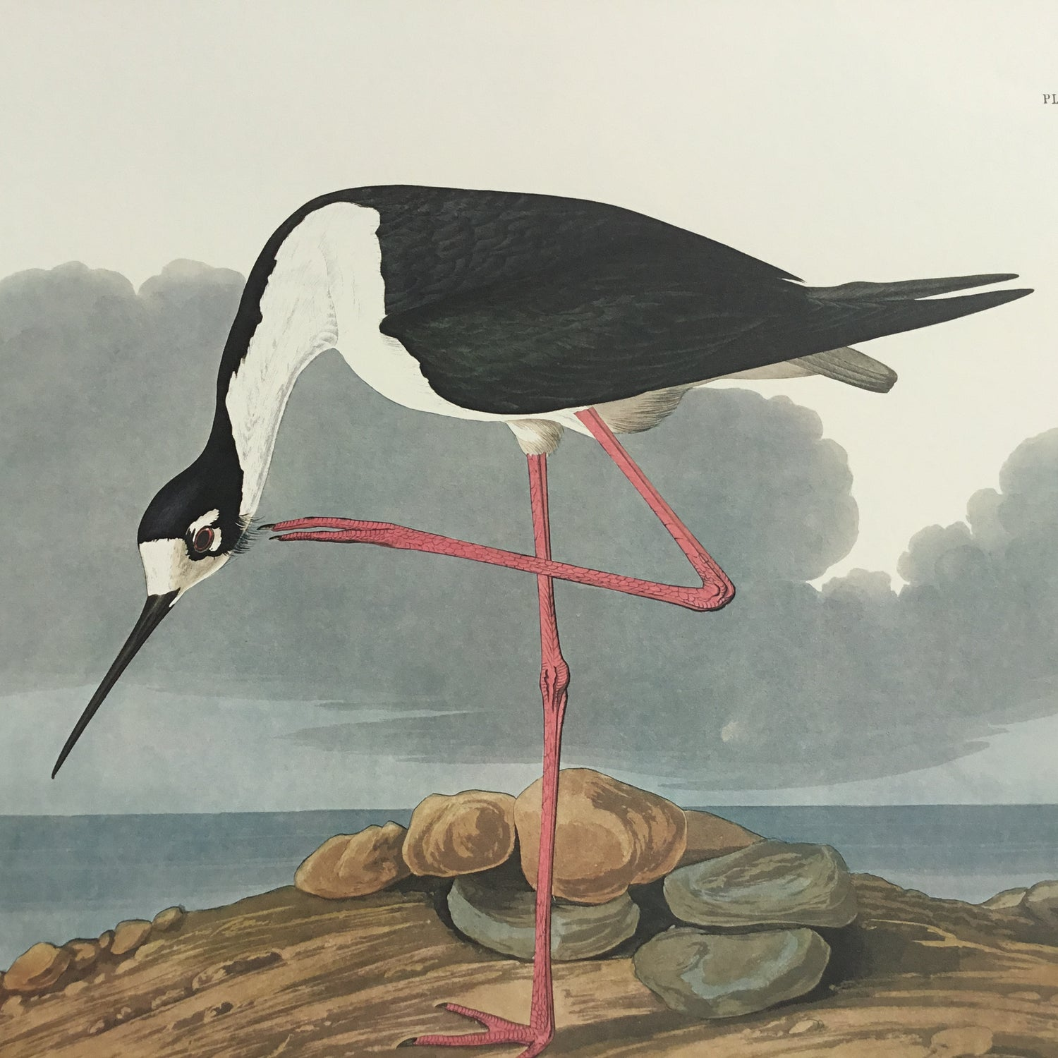 Long-legged Avocet Audubon Print. Princeton Audubon. World's only direct camera edition of this image.