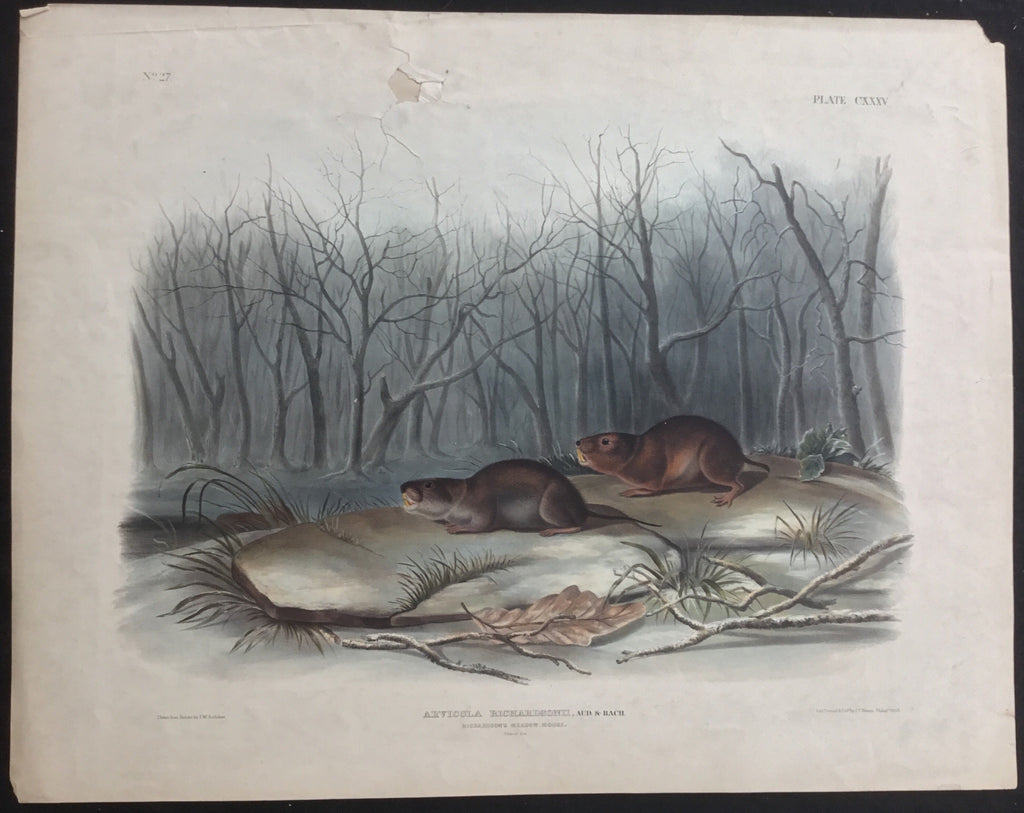 Lord-Hopkins Collection, Audubon Original Imperial plate 134, Richardson's Meadow Mouse