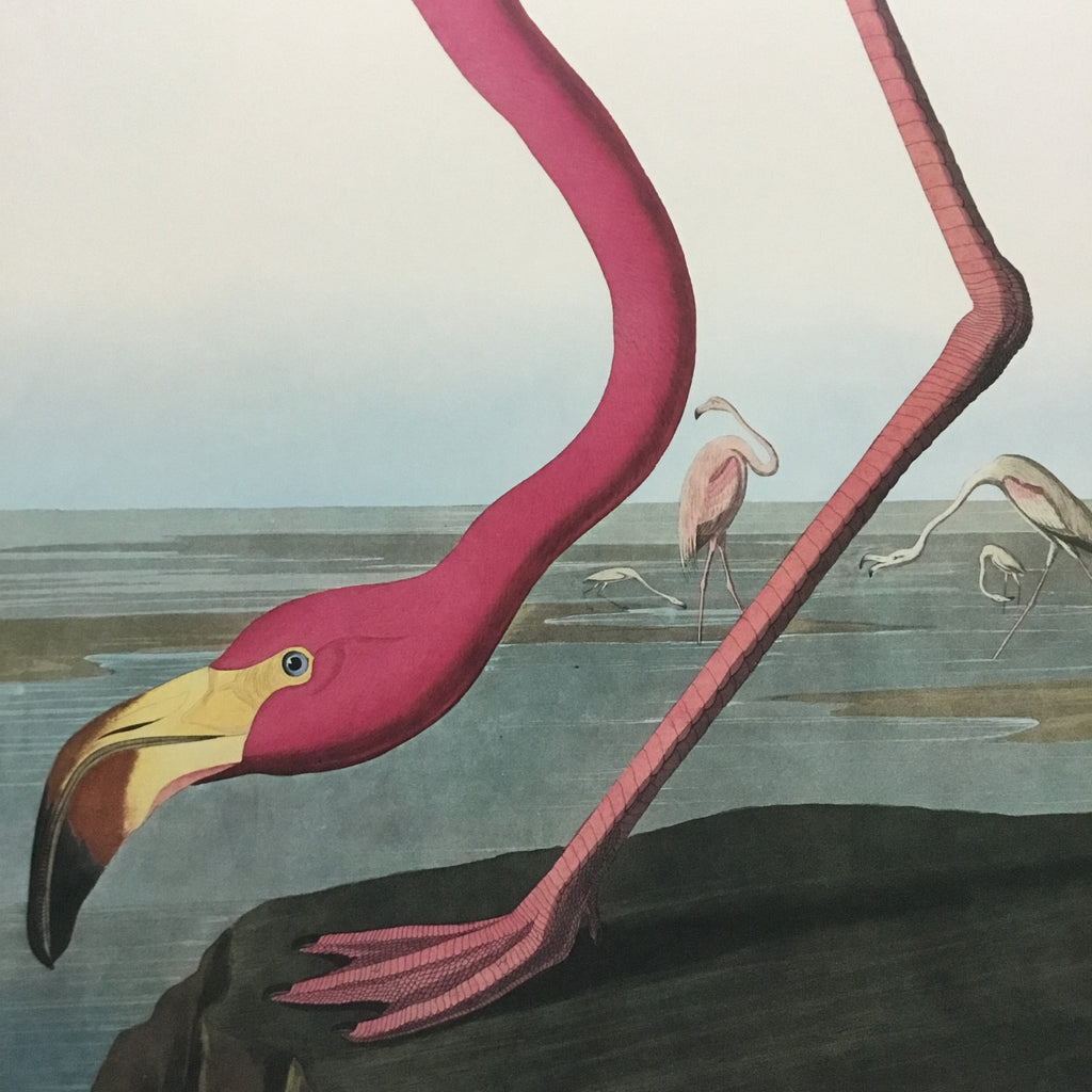 American Flamingo Audubon Print, plate 431, Princeton Audubon Double Elephant Edition. 26 1/4 x 39 1/4 inches. The world's only direct camera edition of this impressive image.
