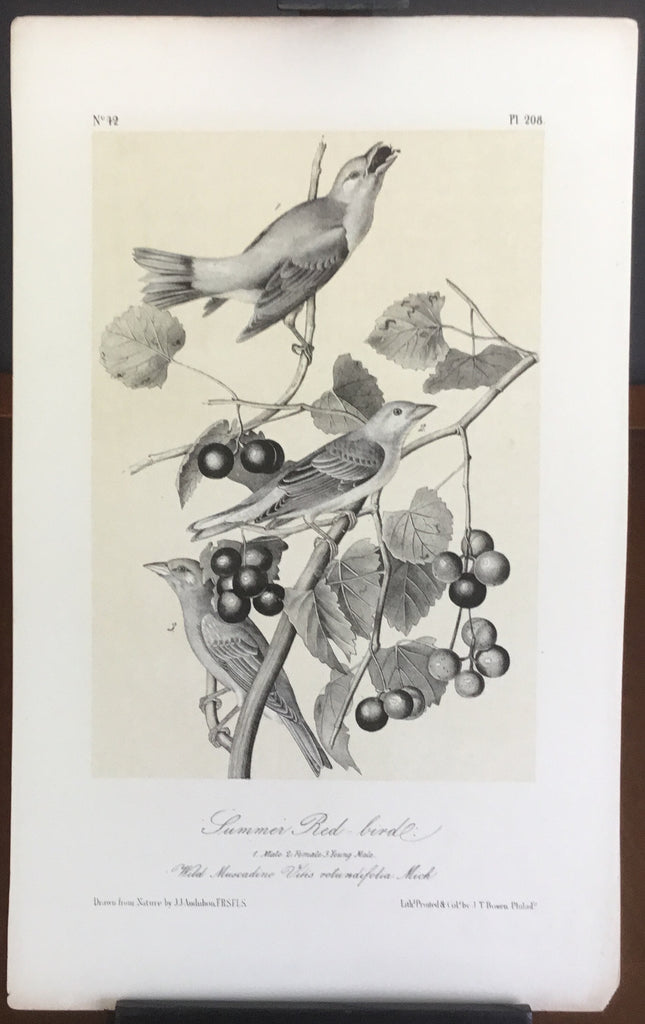 Audubon Octavo Summer Red-bird, plate 208, uncolored test sheet, 7 x 11