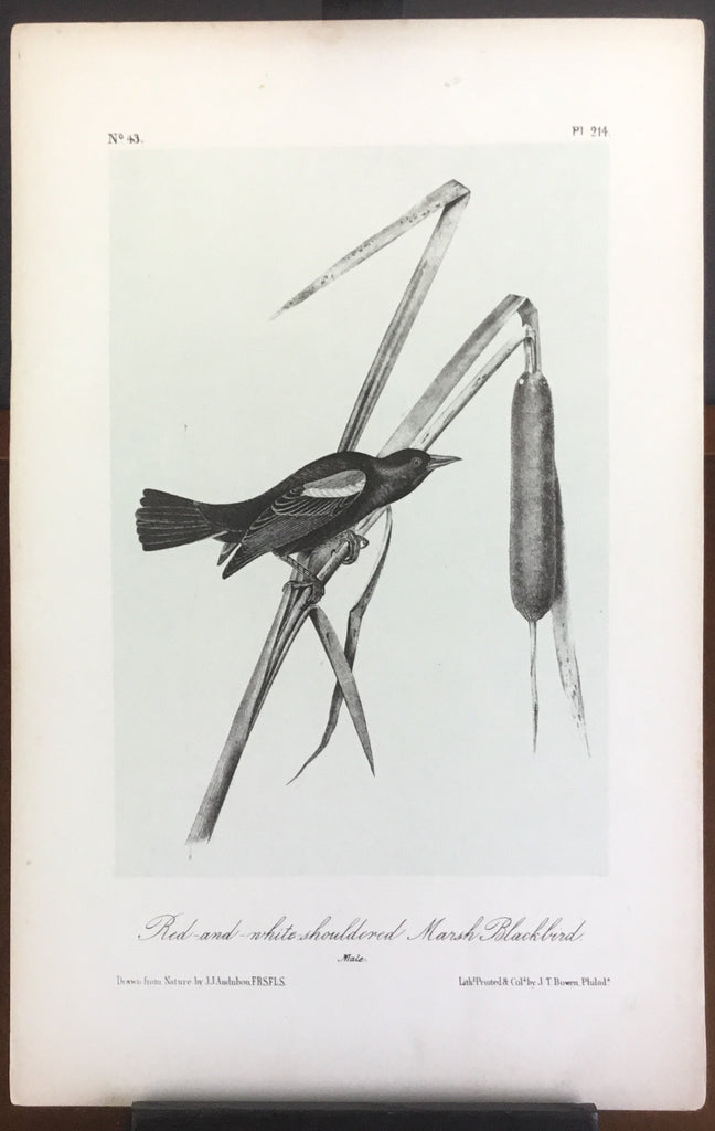 Audubon Octavo Red and White-shouldered Marsh Blackbird , plate 214, uncolored test sheet, 7 x 11