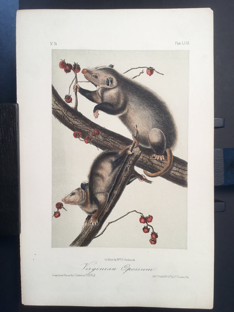 Lord-Hopkins Collection - Virginia Opossum