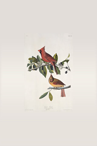 Cardinal Grosbeak, plate 159