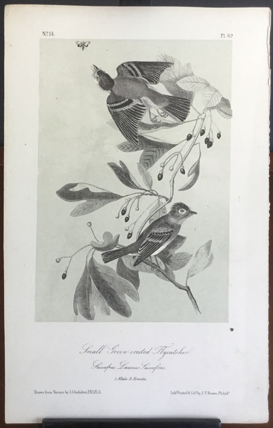 Audubon Octavo Small Green-crested Flycatcher, plate 62, uncolored test sheet. 7 x 11