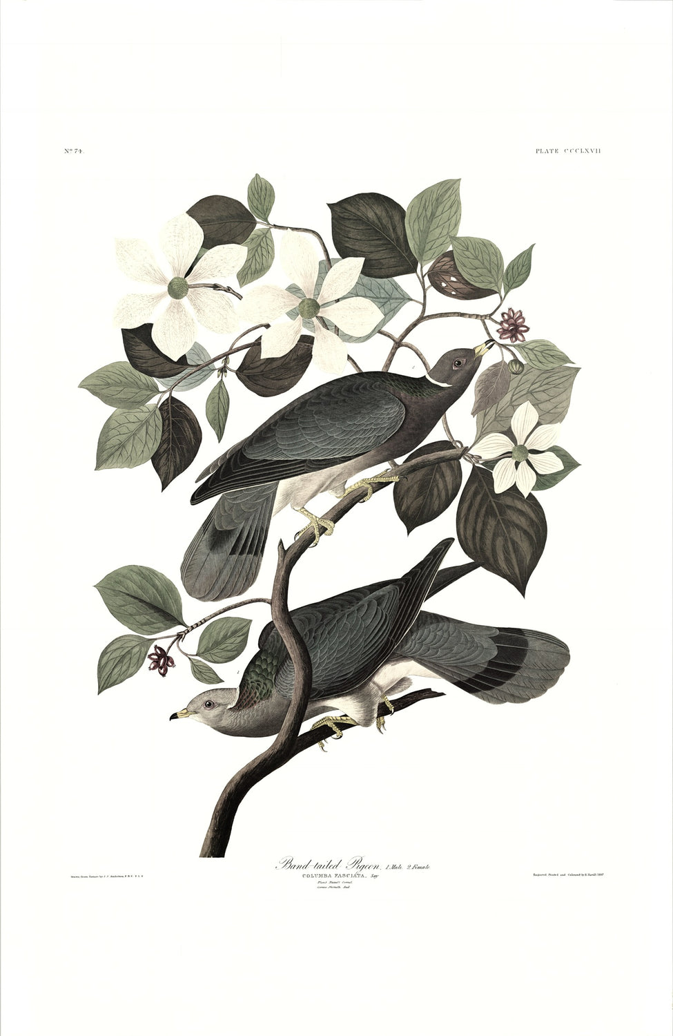Band-tailed Pigeon Audubon Print. Princeton Audubon. World's only direct camera edition of this image.