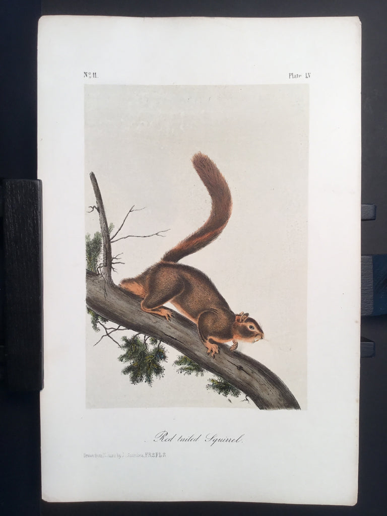 Lord-Hopkins Collection - Red-tailed Squirrel
