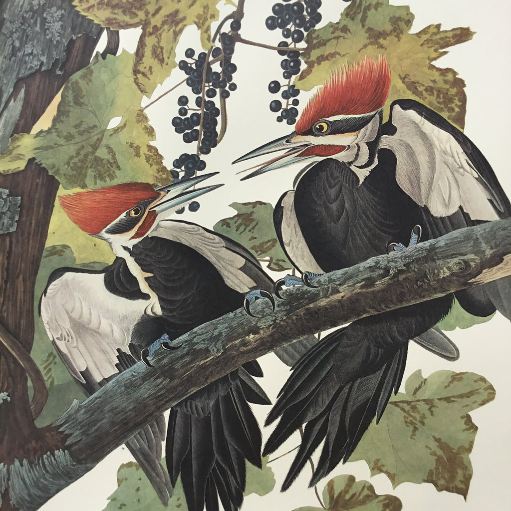 "Princeton Audubon Pileated Woodpecker, plate 111. World""s only direct camera image of this stunning composition. Perhaps the finest Audubon re-creation ever accomplished."