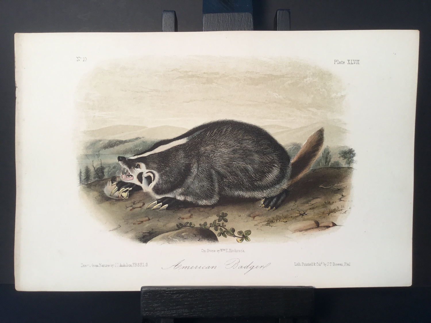 Lord-Hopkins Collection - American Badger