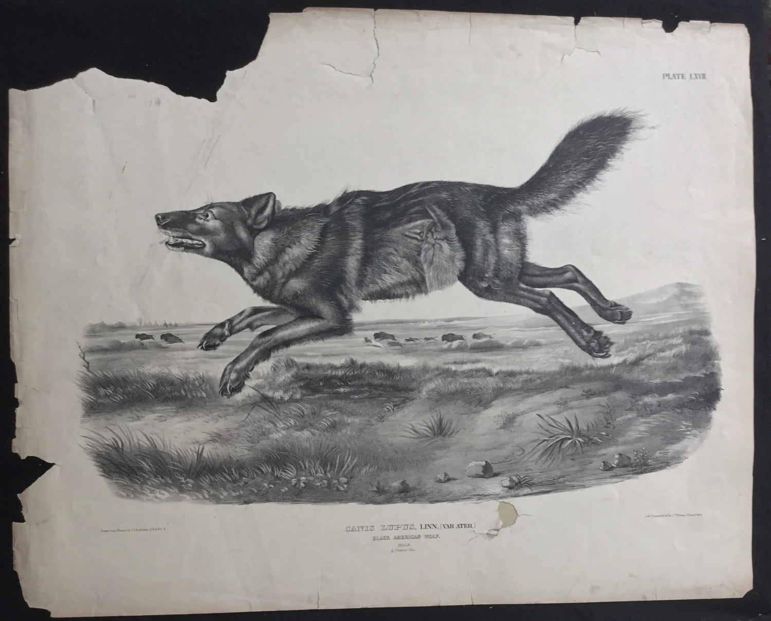 Lord-Hopkins Collection, Audubon Original Imperial plate 67, Black American Wolf