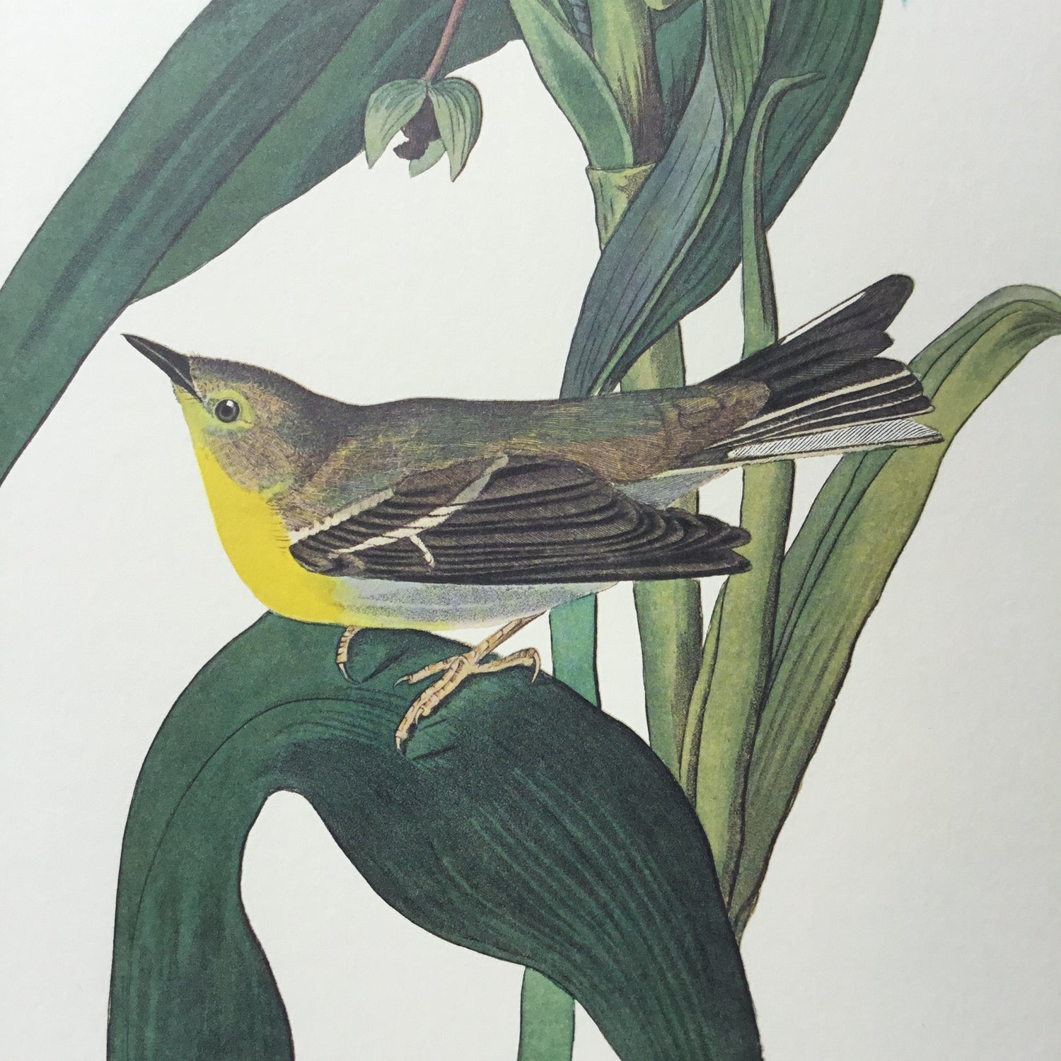 Vigors's Warbler Audubon Print. Princeton Audubon. The world's only direct camera edition of this image.