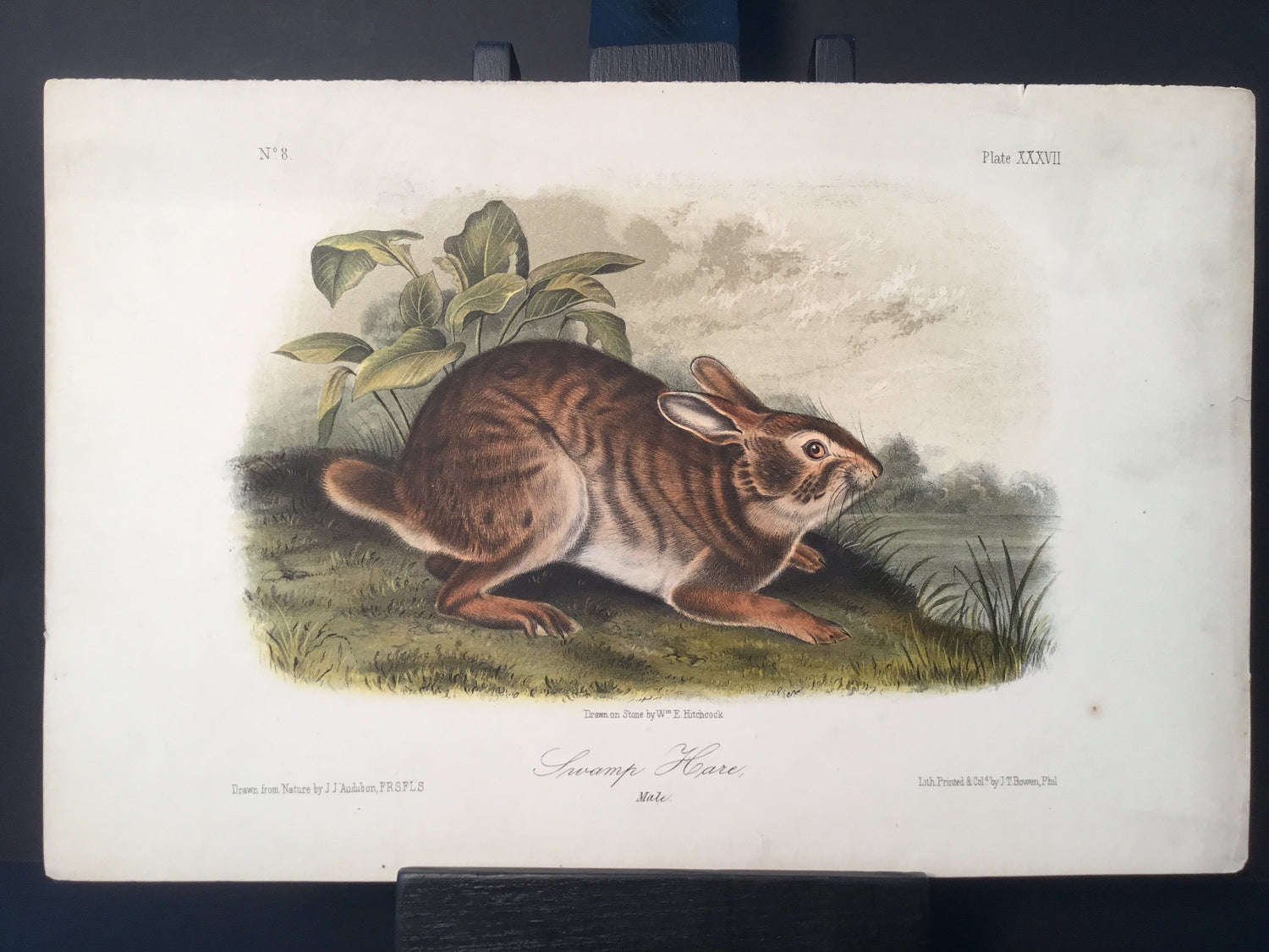Lord-Hopkins Collection - Swamp Hare