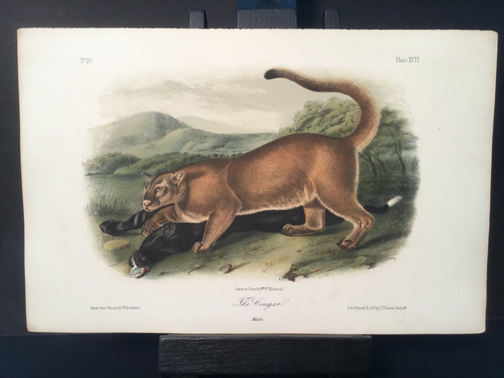 Lord-Hopkins Collection - Cougar