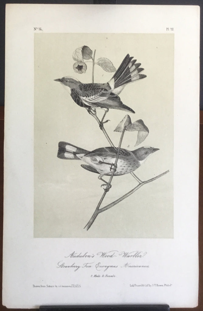 Audubon Octavo Audubon's Wood Warbler, plate 77, uncolored test sheet, tinted. 7 x 11