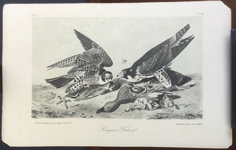 Audubon Octavo Peregrine Falcon, plate 20, uncolored test sheet. 7 x 11