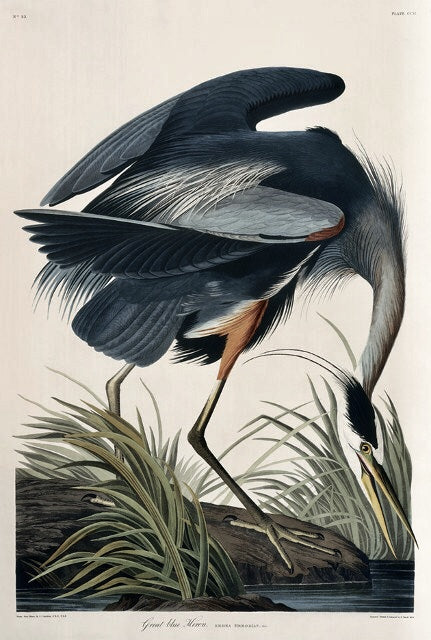 Essex Edition Great Blue Heron Measures 17 1/2 x 26 inches.