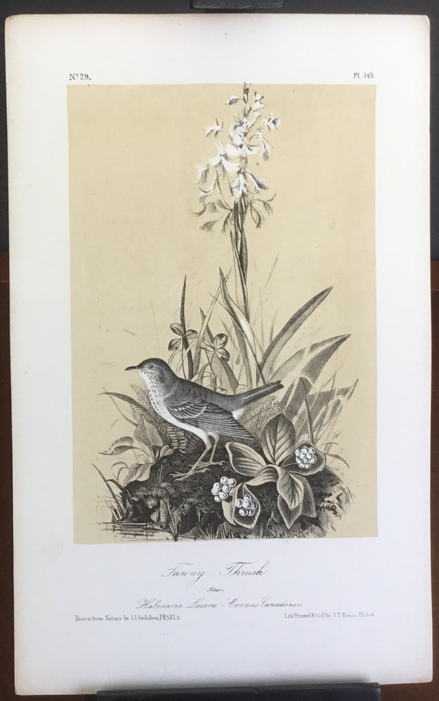 Audubon Octavo Tawny Thrush, plate 145, uncolored test sheet, 7 x 11
