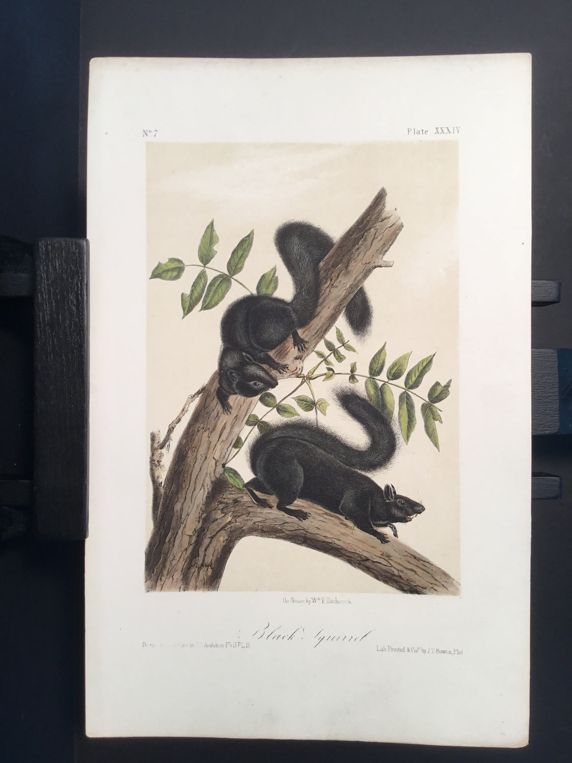 Lord-Hopkins Collection - Black Squirrel