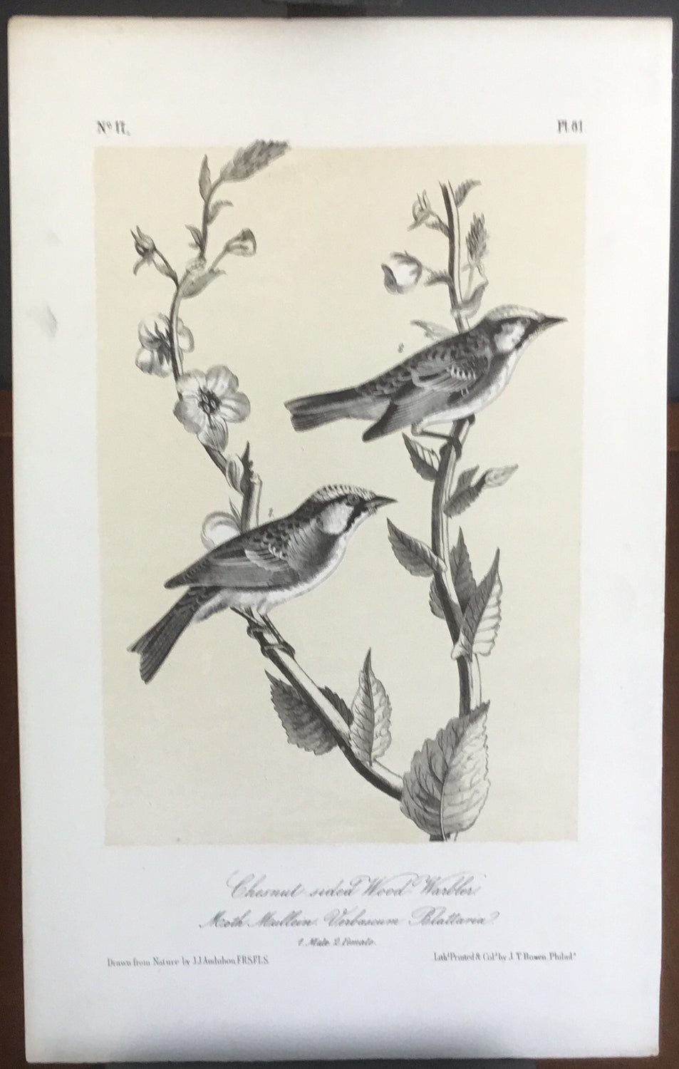Audubon Octavo Chestnut-sided Wood Warbler, plate 81, uncolored test sheet, 7 x 11