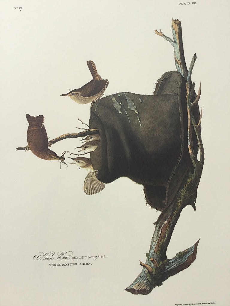 House Wren Audubon Print. Princeton Audubon. The world's only direct camera edition of this image.