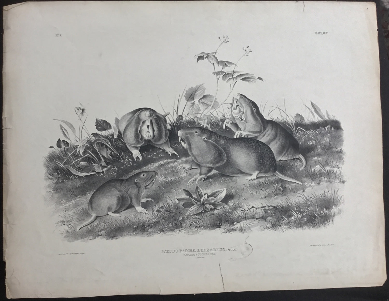 Lord-Hopkins Collection, Audubon Original Imperial plate 44, Canada Pouched Rat