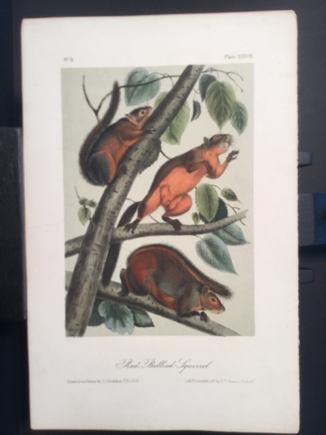 Lord-Hopkins Collection - Red-bellied Squirrel