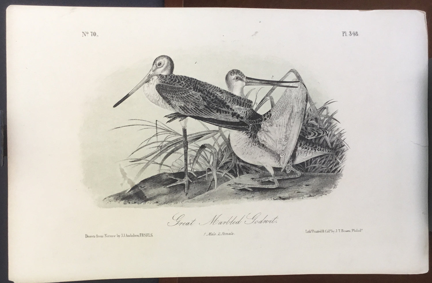 Audubon Octavo Great Marbled Godwit, plate 348, uncolored test sheet, 7 x 11