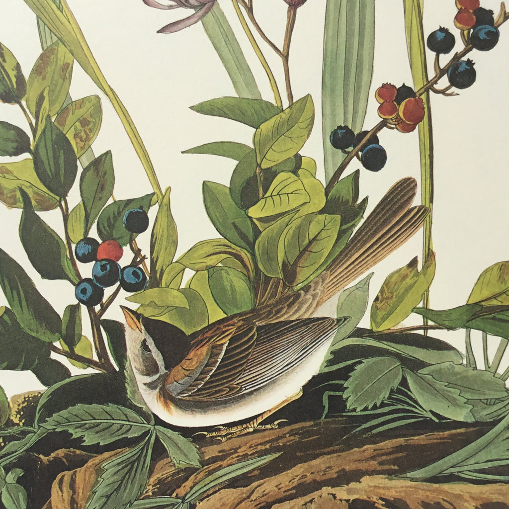 Field Sparrow Audubon Print. Princeton Audubon. World's only direct camera edition of this image.