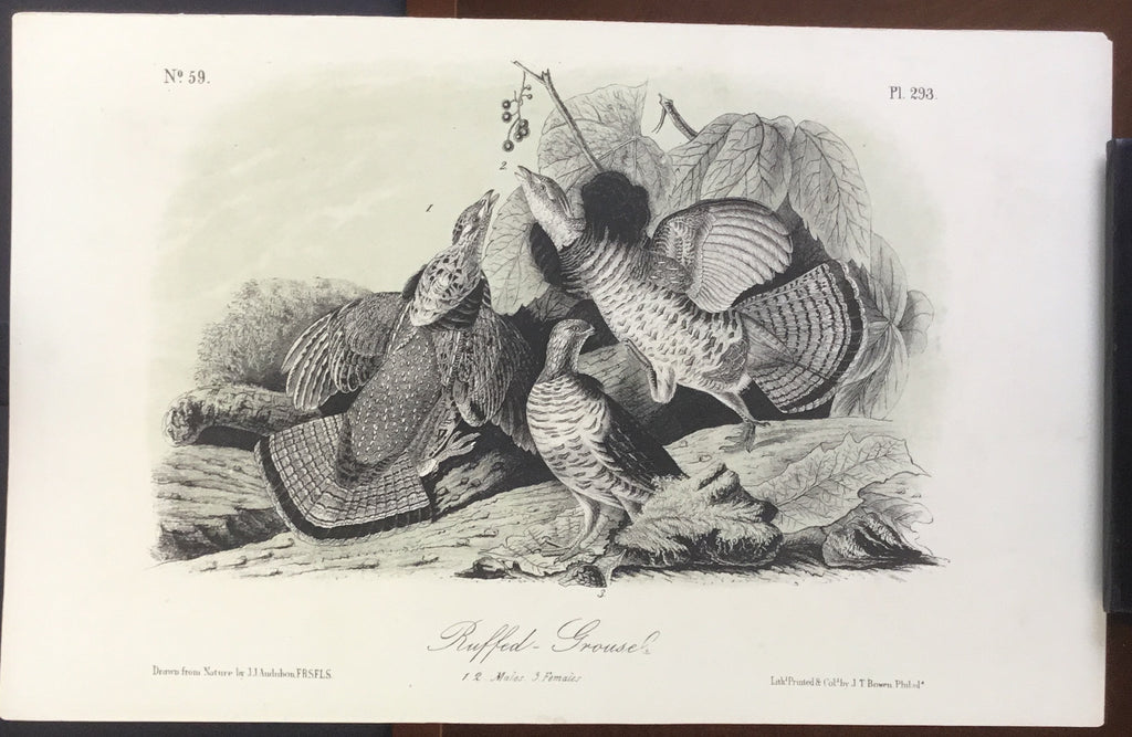 Audubon Octavo Riffed Grouse, plate 293, uncolored test sheet, 7 x 11