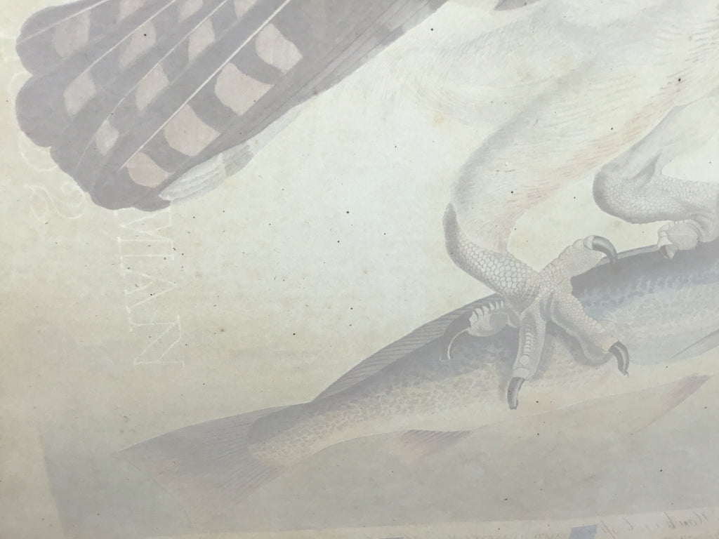Original Audubon Havell Osprey or Fish Hawk, plate 81