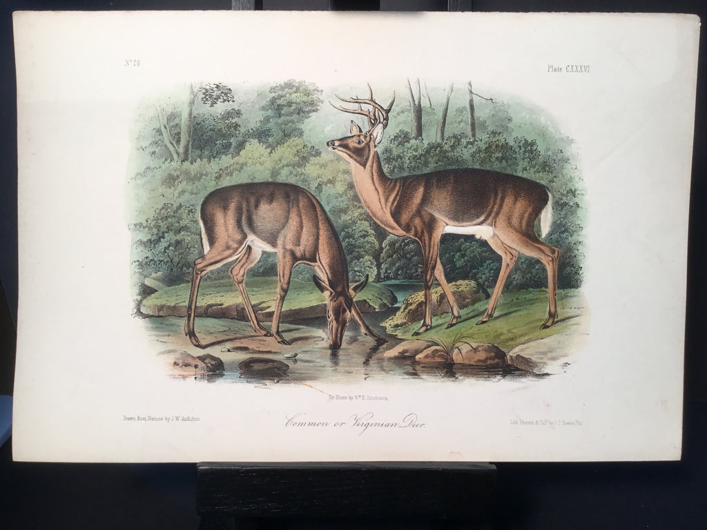 Lord-Hopkins Collection - Common or Virginian Deer